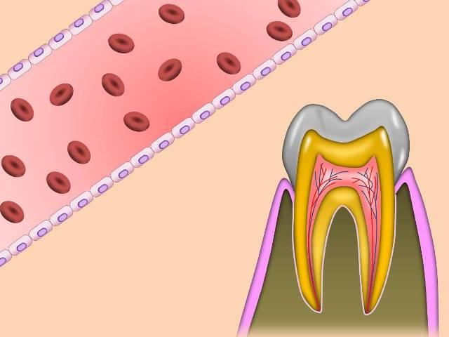 歯の神経と血管.jpg